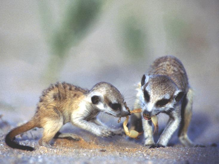meerkats eating scorpions