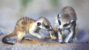 meerkats eating scorpions