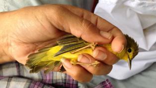 Asigau yellow warbler thumb