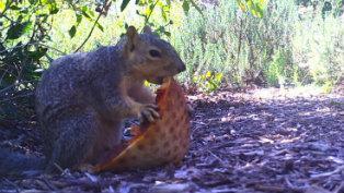 eastern fox squirrel eating pizza thumb