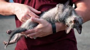 Lykoi in arms