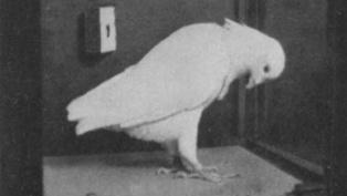 pigeon dot experiment thumb