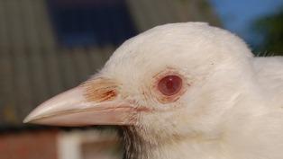 5. Albino. Magpie thumb