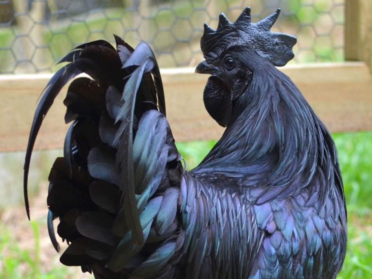 Inside the Goth Chicken: Black Bones, Black Meat, and a Black Heart