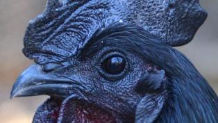 goth chicken ayam cemani thumb