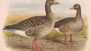 greylag goose couple